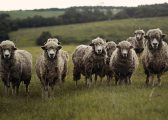 Rights and Reservations of your Agricultural Tenancy photo of sheep in field