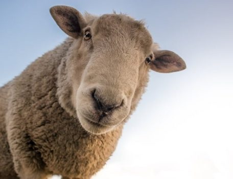 Image of Sheep for Blog on Farmer Owned Co-operatives