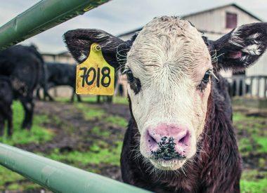Image of calf for animal striking blog